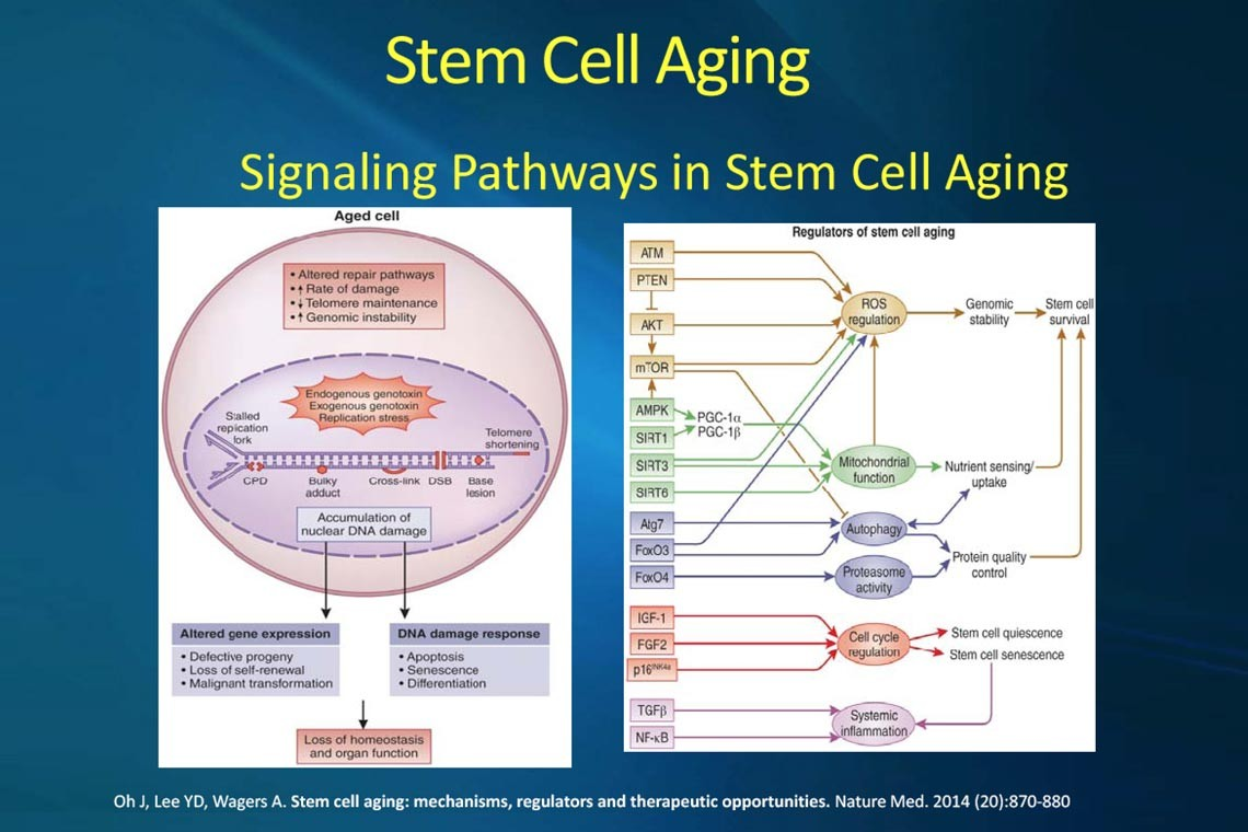 Anti-Aging and Stem Cells