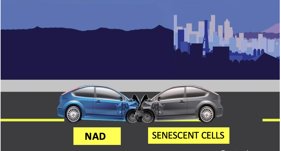 NAD+ And Cell Senescence:  Are These Two Entities On A Collision Course?
