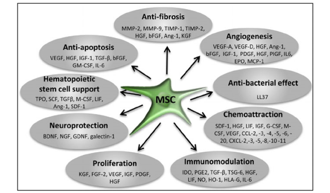 Mesenchymal Stem Cells [MSCs]