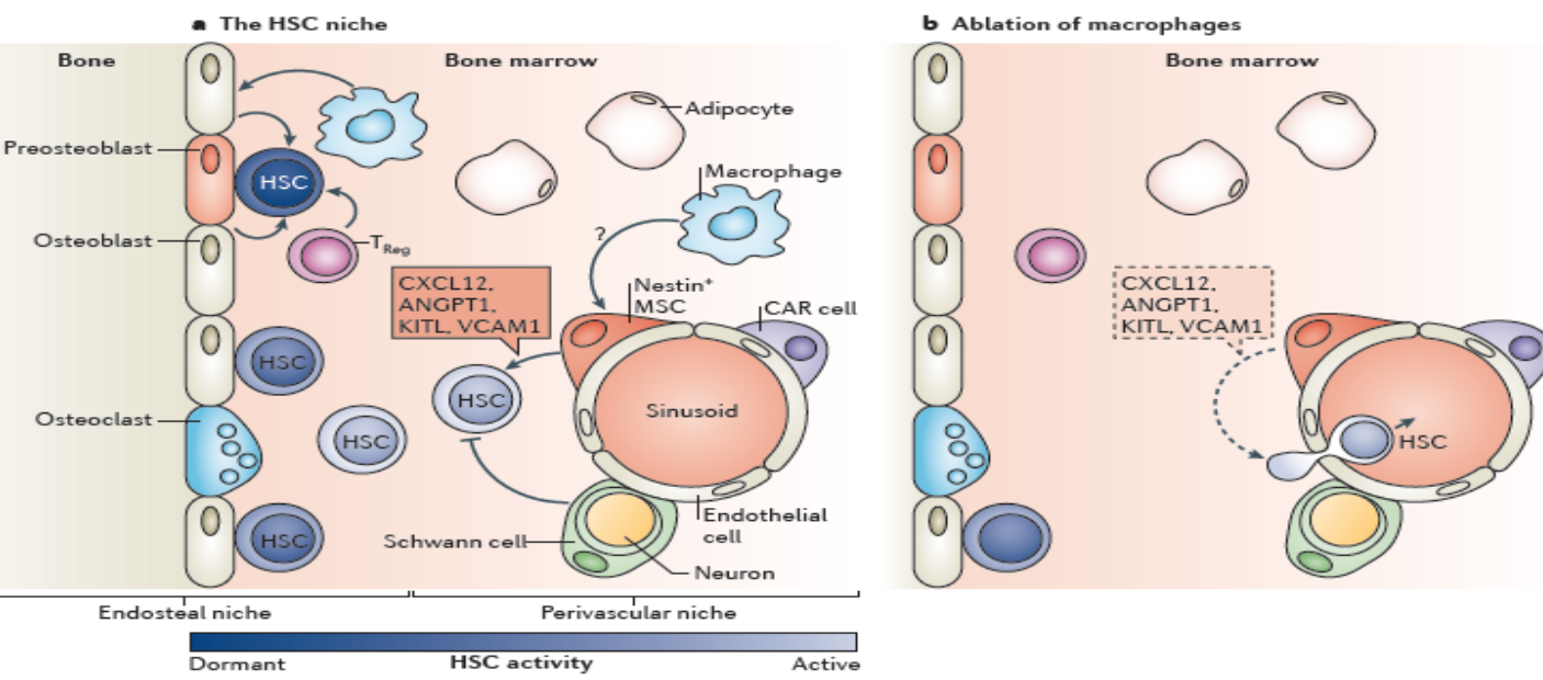 Why WBCs [White Blood Cells] are important