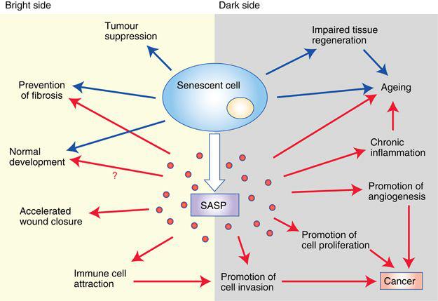 Concerning Senescent Cells