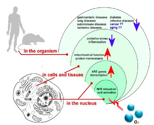 Antioxidant Response Elements