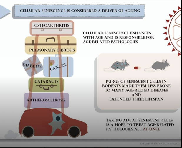 Cellular Senescence Is Considered A Driver Of Ageing