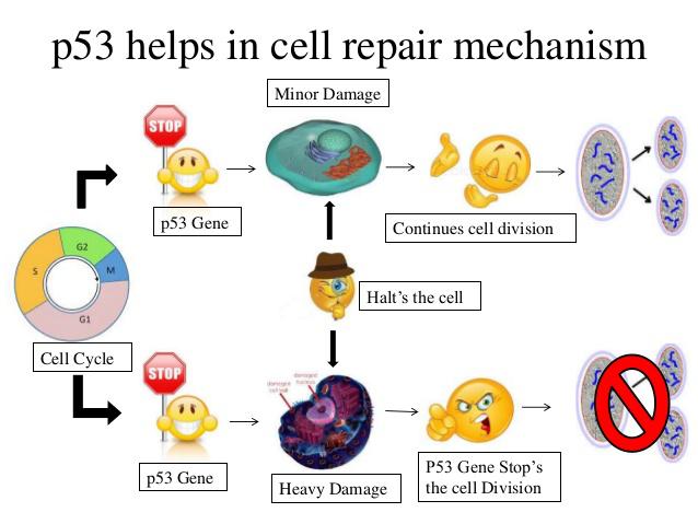 P53 Helps In Cell Repair Mechanisum