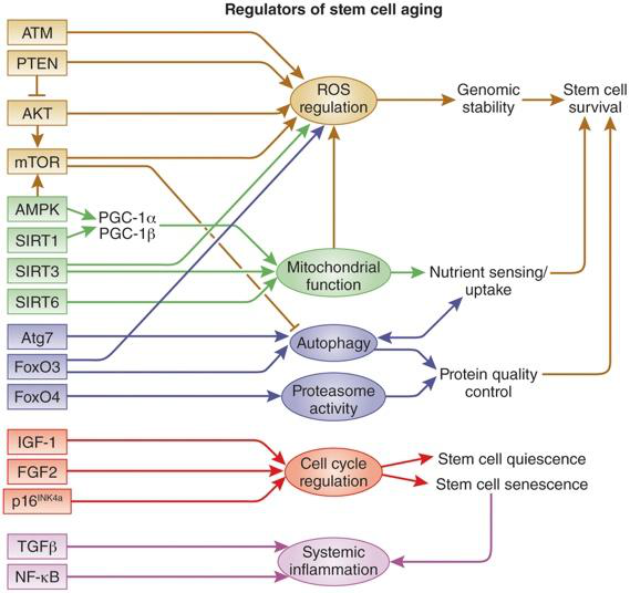 diagram of stem cell aging pathways